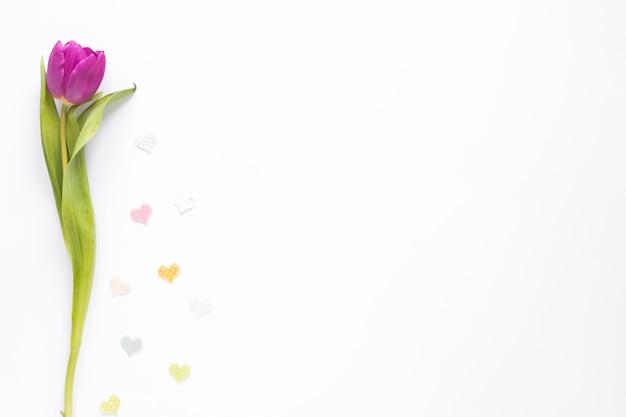 Tulipán morado con pequeños corazones en mesa blanca Foto gratis