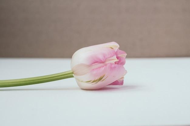 Tulipán rosa pálido, enfoque selectivo, copia espacio de fondo Foto Premium