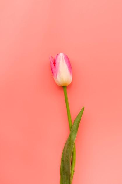 Tulipán rosado y blanco frágil fresco Foto gratis