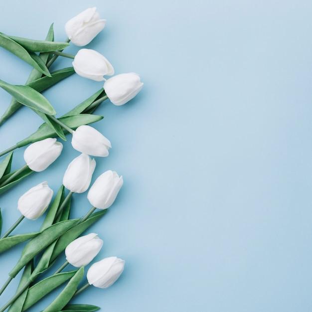 Tulipanes blancos sobre fondo azul pastel con espacio en el lado derecho Foto gratis