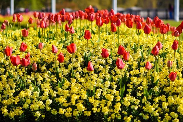 Tulipanes rojos cerca del palacio de buckingham en londres Foto Premium