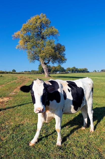Vaca en blanco y negro sobre verde con árbol en el fondo Foto gratis