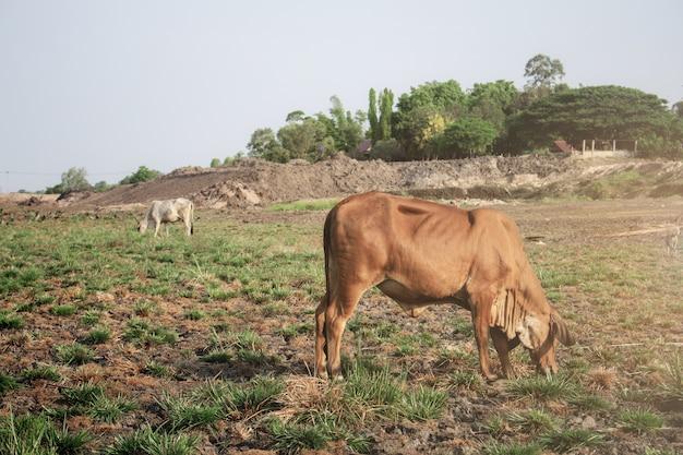 Vaca en el campo Foto Premium