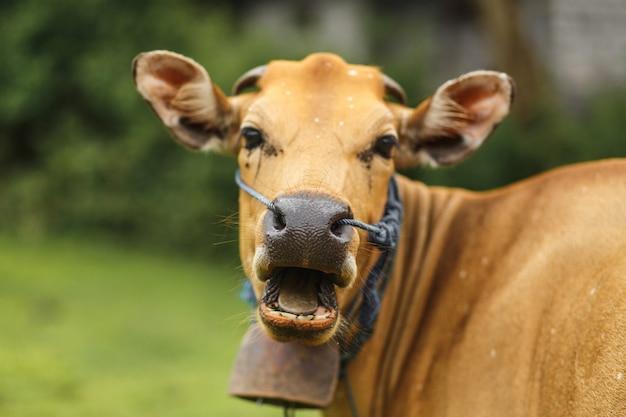 Vaca del color del marrón del balinese del retrato que pasta en un prado. Foto Premium