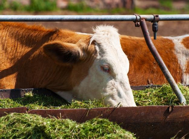 Vaca comiendo heno Foto Premium