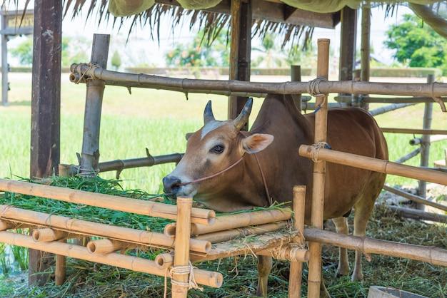 Vaca comiendo hierba en la granja. Foto Premium