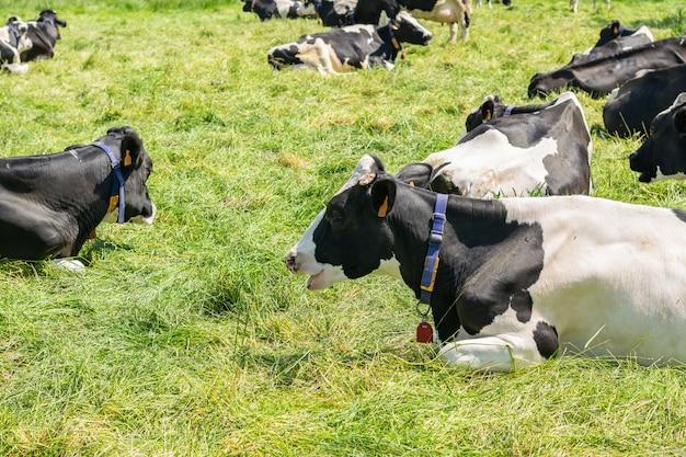 Vaca holstein-frisona que presenta para la imagen en una granja. Foto Premium