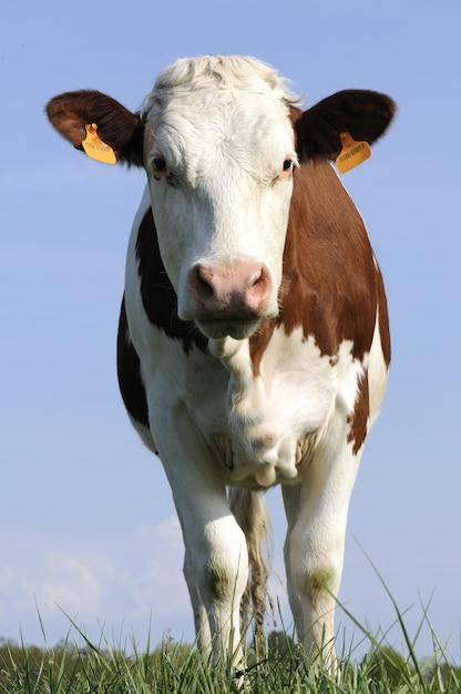 Vaca lechera en un campo Foto Premium