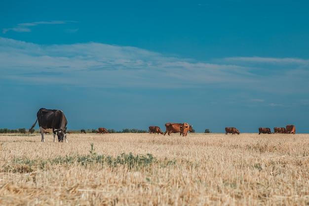 Vacas en un campo amarillo y azul cielo. Foto Premium