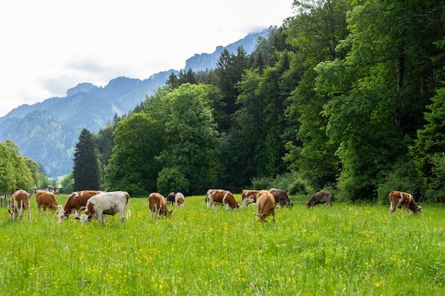 Vacas en un campo verde Foto Premium