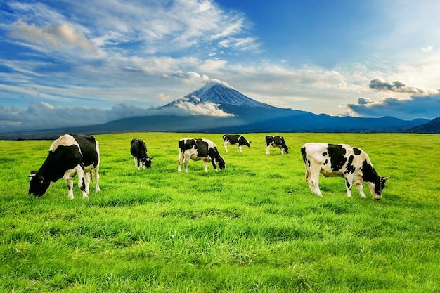 Vacas comiendo hierba exuberante en el campo verde frente a la montaña fuji, japón. Foto gratis