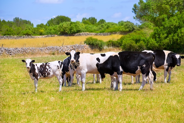 Vacas frisonas de menorca que pastan en prado verde Foto Premium