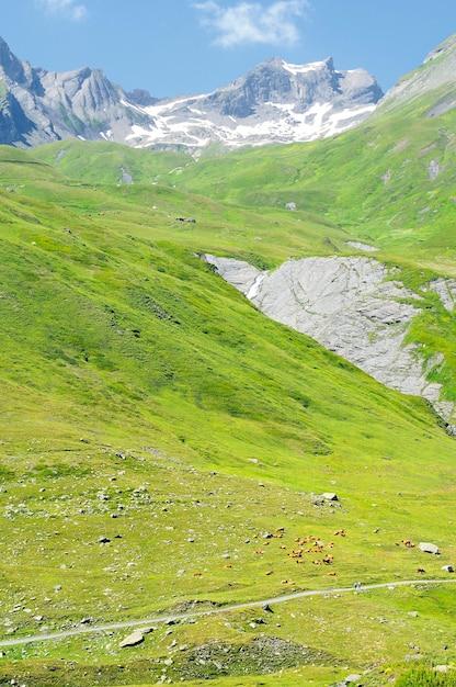 Vacas en el paisaje de los alpes europeos en verano Foto Premium