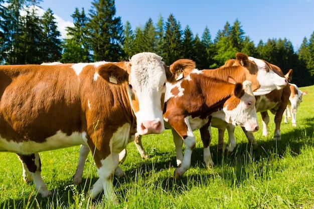 Vacas en un prado Foto Premium