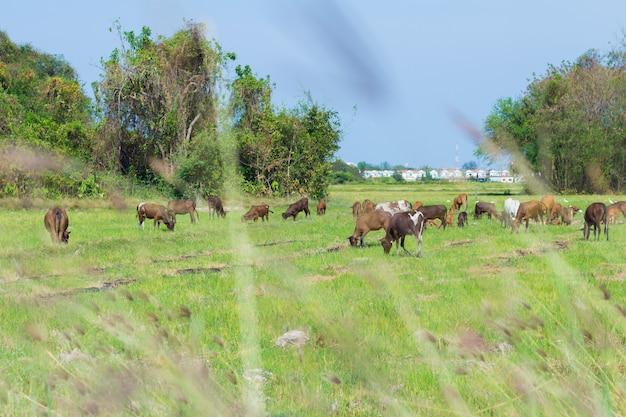 Vacas que pastan en la granja con campo verde en un buen día Foto Premium