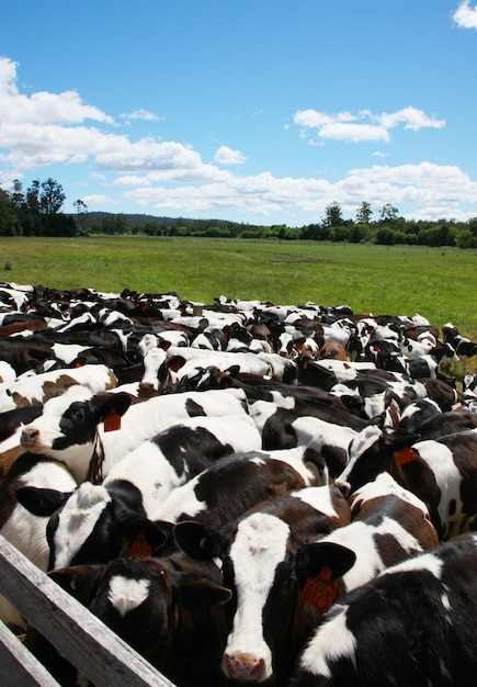 Vacas Foto gratis