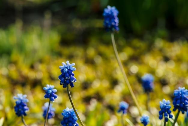 Varias campanillas azules hermosas en el fondo soleado de la vegetación. Foto Premium