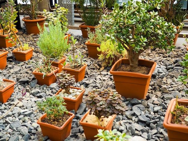Variedad de árboles bonsai se plantaron en macetas y muchos se clasificaron para decorar jardines públicos. Foto Premium