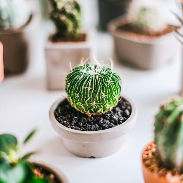 Varios cactus pequeños Foto gratis
