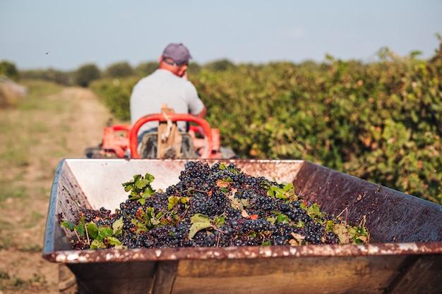 Vendimia estacional de uvas primitivo en la viña Foto Premium