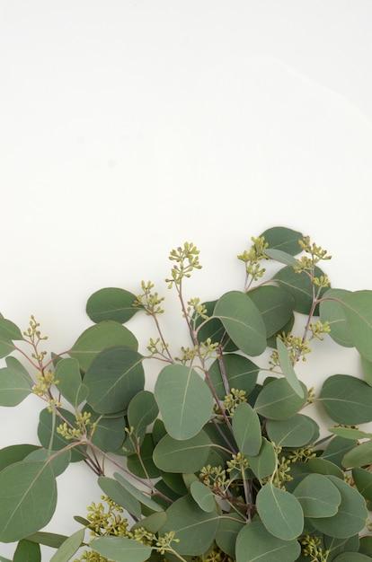 El verde deja eucalipto populus en el fondo blanco Foto Premium