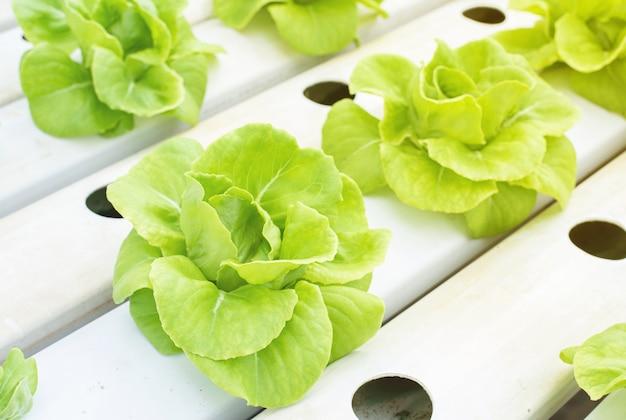 Verduras de cabeza de mantequilla verde plantadas por plantación hidropónica Foto Premium