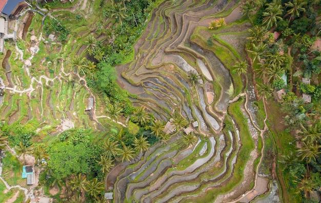 Vista Aérea Aérea De La Terraza De Arroz De Tegallalang Ubud