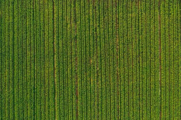Vista aérea del bosque de campos de maíz Foto Premium