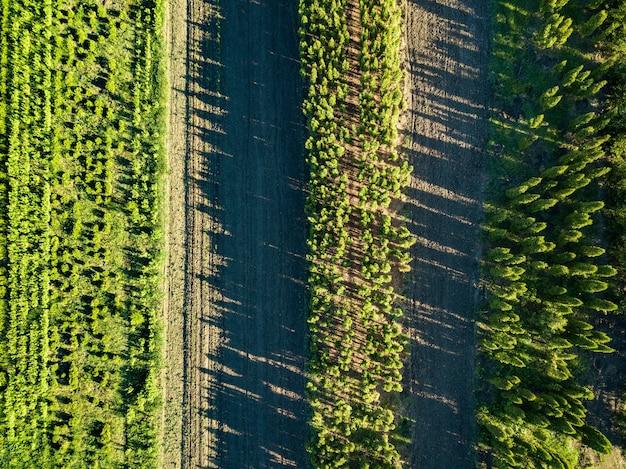 Vista aérea de muchos jóvenes que crecen en una fila de árboles en el campo. Foto Premium