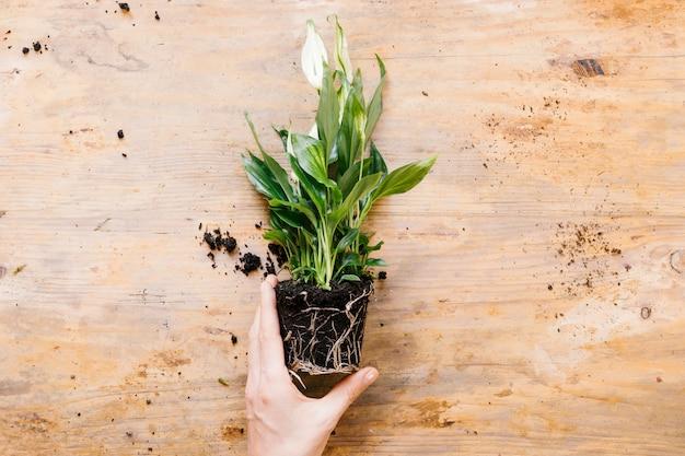 Vista de alto ángulo de la mano de la persona que sostiene la planta verde contra el telón de fondo de madera Foto gratis