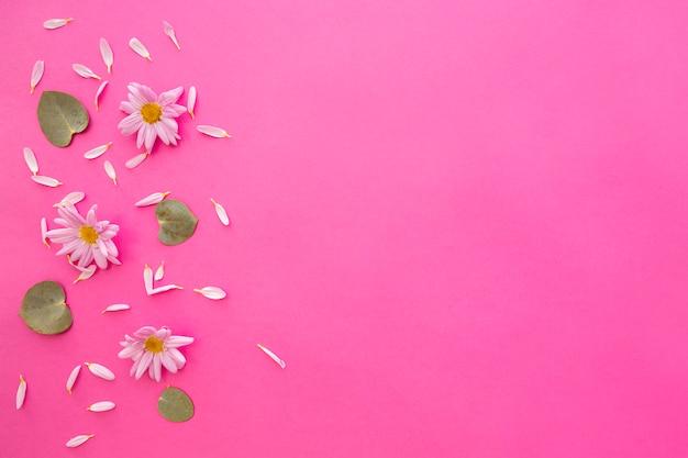 Vista de ángulo alto de las flores de margarita de margarita; pétalos y hojas verdes sobre fondo rosa Foto gratis