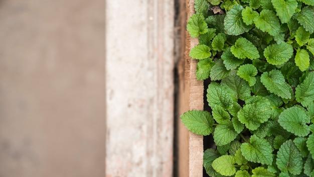Vista de ángulo alto de hojas de menta de papel verde en invernadero Foto gratis