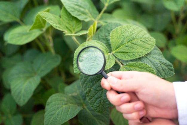 Vista cercana de manos sosteniendo lupa control de hoja de soja Foto gratis