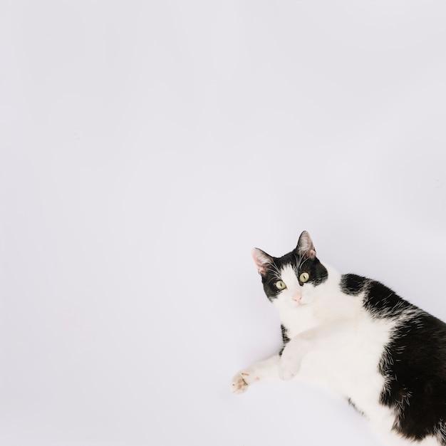 Vista elevada del gato lindo que miente en el fondo blanco Foto gratis