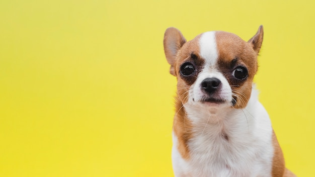 Vista frontal cachorro sobre fondo amarillo Foto gratis
