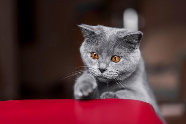Vista frontal del gato británico de pelo corto británico Foto gratis