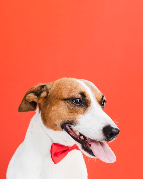Vista frontal del perro con lengua afuera y lazo rojo Foto gratis