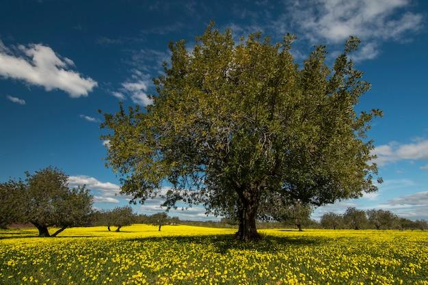 Vista de una huerta de algarrobo en un campo de flores amarillas en el campo de portugal. Foto Premium