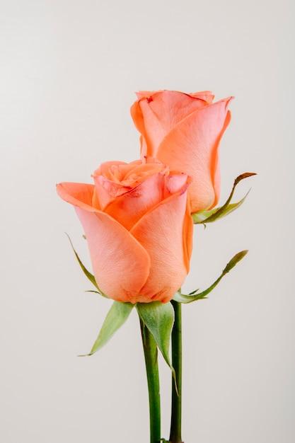 Vista lateral de rosas de color coral aislado sobre fondo blanco. Foto gratis