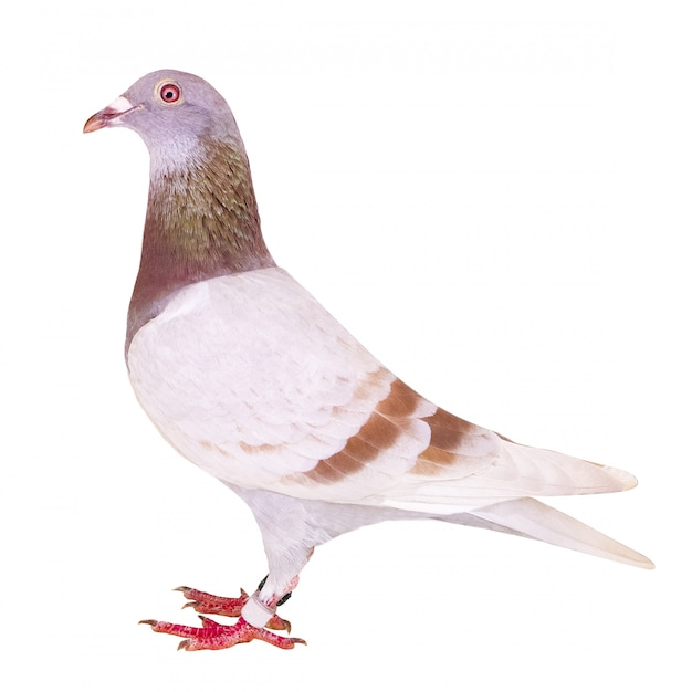 Vista lateral de todo el cuerpo de plumas de paloma mensajeras harinosas rojas aisladas Foto Premium