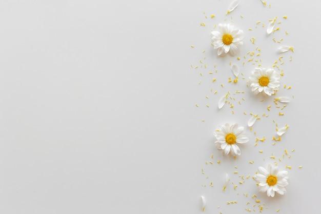 Vista superior de las flores de margarita blanca; pétalos y polen amarillo sobre fondo blanco. Foto gratis