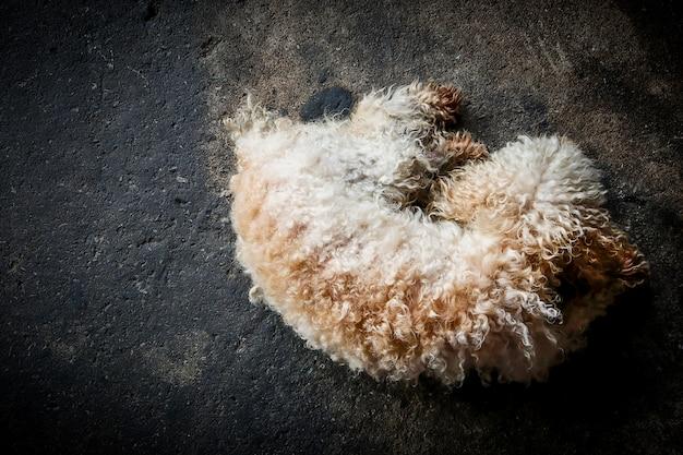 Vista superior del perro caniche durmiendo en el piso negro. animal mascota tono oscuro. Foto Premium