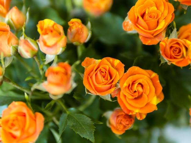 Vista superior de rosas naranjas en jardín Foto gratis