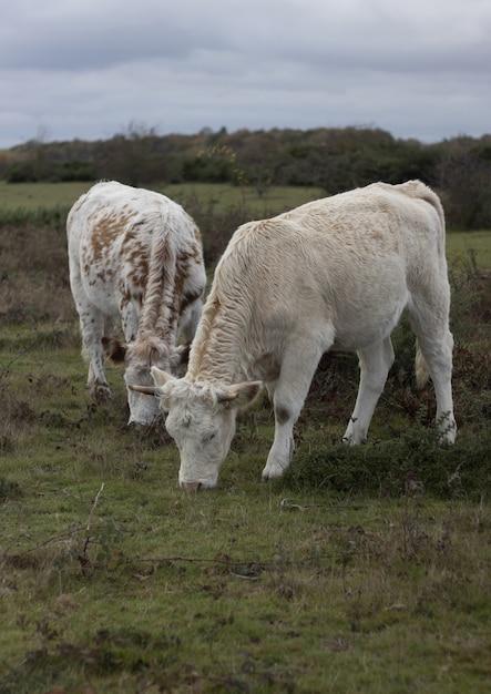 Vista vertical de dos vacas comiendo hierba en el pasto Foto gratis