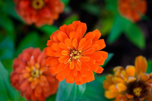 Vivo de cerca la flor de zinnia Foto Premium