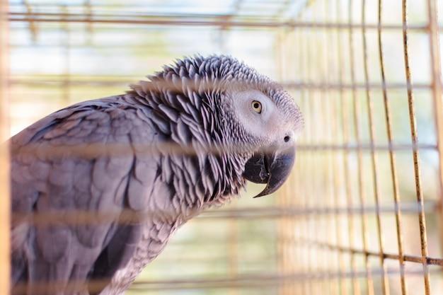 Yaco loro (psittacus erithacus) en su jaula Foto Premium