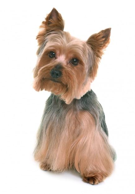 Yorkshire terrier en estudio Foto Premium
