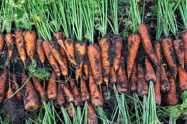 Zanahorias recién cosechadas en huerto orgánico, cosecha en otoño Foto Premium