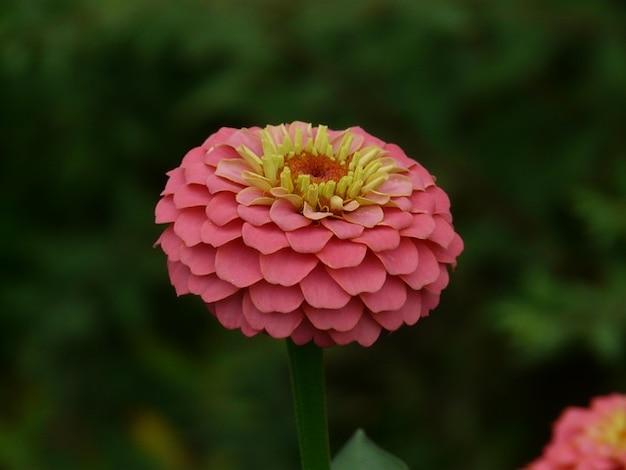 Zinnia violacea coloridas flores de color Foto gratis