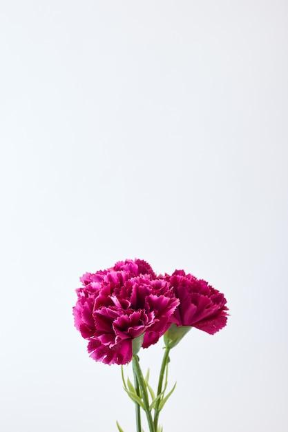 8 marzo garofano delle donne Foto Premium